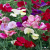 Karışık Renkli Nazende Itırşahi Çiçeği Tohumu  ( 5 Tohum )